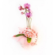 Planta de Orquideas Phalaenopsis