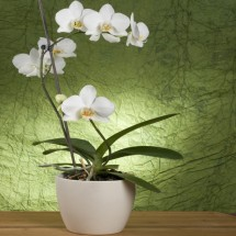 Planta Phalaenopsis F 500